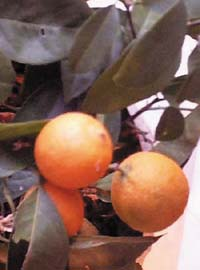 Persian limes ripen to a bright orange shade.