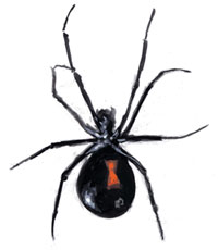 Drawing of a Black Widow spider
