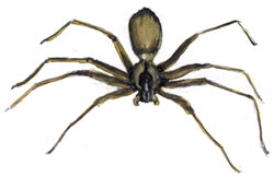Drawing of a Brown Recluse spider