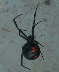 The Black Widow is easily identified by the red hourglass shape