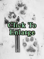 These tracks of a gray wolf in fresh snow illustrate the differences in size and shape between front and hind feet, and also provide valuable clues to the animal's probable size, weight, and age.