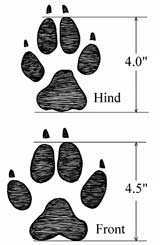 An illustrated tracking reference with clear, dimensioned drawings is essential to a tracker's field kit (drawing excerpted from The Encyclopedia of Tracks & Scats).