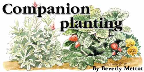 Companion Planting By Beverly Mettot