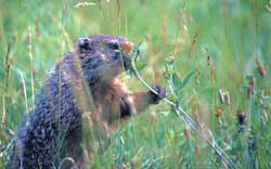 A groundhog eating red clover. Groundhogs, or gophers, are just one of many wild animals that eat clover.