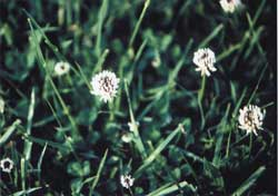White Dutch clover is one of the clovers regularly used in pasture mixes. It is a wide-growing volunteer.