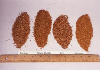 One ounce each of Ladino, white Dutch, red, and crimson clover seeds. The differences in seed sizes and colors are shown with a one-foot ruler for reference.