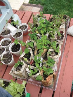 Mom's nursery was easy to transport between indoors and out according to the weather. Some of these seedlings were not for the dollar garden; many of Mom's other gardening efforts start in the same, inexpensive manner.