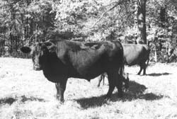 A fine pasture-fed beef steer, large enough to sell or butcher