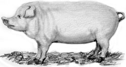 The pig is probably more closely related to its wild ancestor than any of the common farm animals. It is also the most widely spread of the feral animals in the United States. Nowadays, pork is so inexpensive that you're not likely to find a pig on the small family farm.