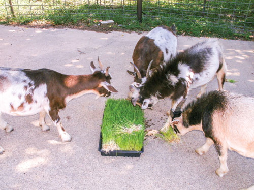 Goats enjoying the fodder.