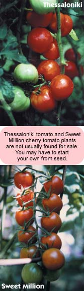 Thessaloniki tomato and Sweet Million cherry tomato plants are not usually found for sale. You may have to start your own from seed.