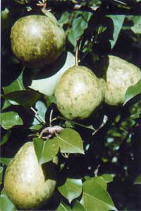 Pears are ready to harvest when they can be lifted and stems break away easily from the limb (Orient pear).