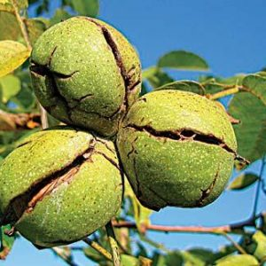 Nut trees on your homestead - Backwoods Home Magazine