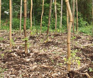 Growing and Using Your Own Bamboo - Backwoods Home Magazine