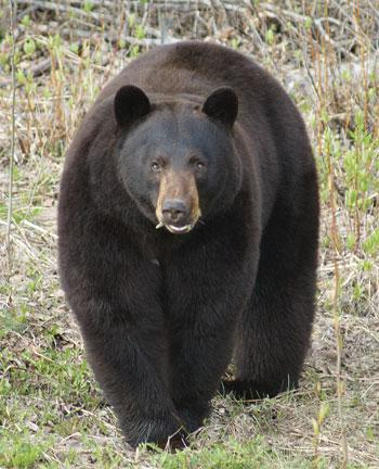 When you want to make bear lard, a fat autumn bear like this one will yield plenty.