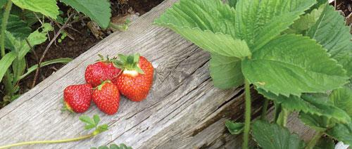 Strawberries on a fence rail.