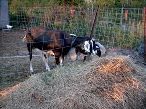 goat-eating.jpg