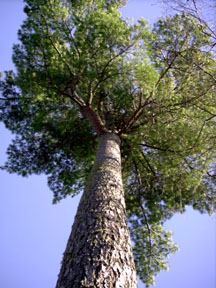 This majestic white pine is generations old.