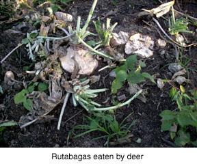 Rutabagas eaten by deer