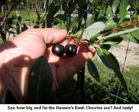 Bush-cherries