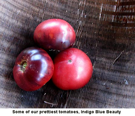 Indigo-blue-beauty