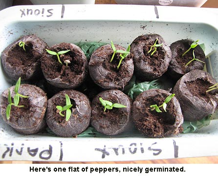 Sprouting-peppers-01