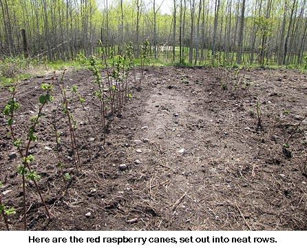 Raspberry-canes_8922