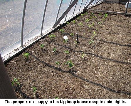 hoop-house-peppers_9006