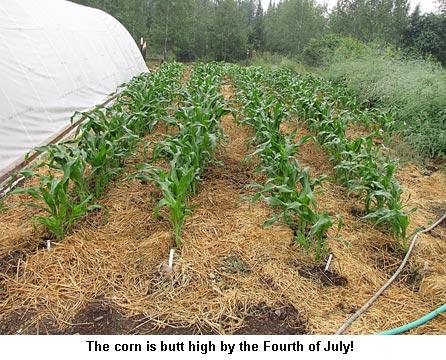Corn_9203