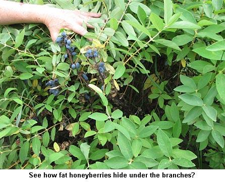 Hiding-berries_9188