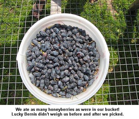 Honeyberries_9155