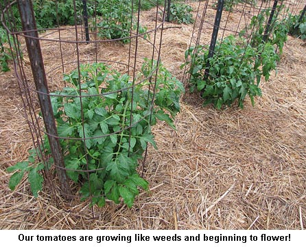 Tomatoes_9204