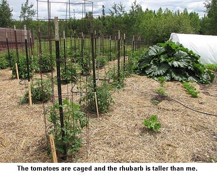 tomatoes-rhubarb_9244