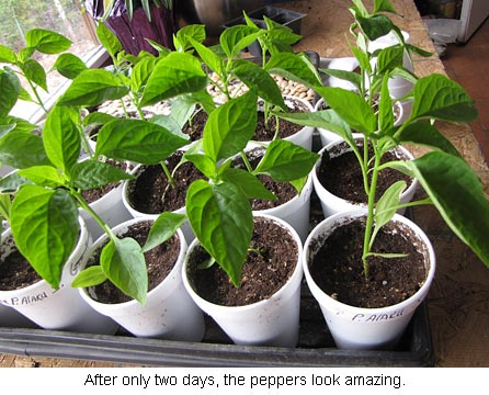 Two-day-peppers_0164