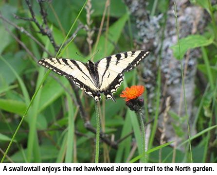 Swallowtail_0325