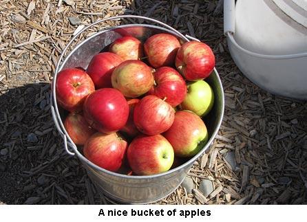 Apples_0771