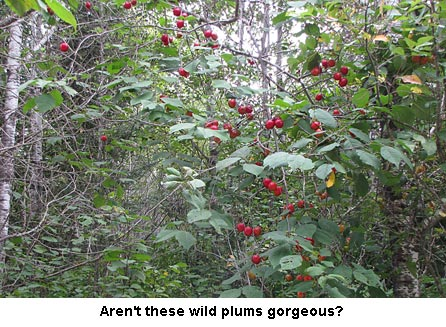 Wildplums1_0811