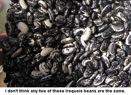 iroquoisbeans_1067