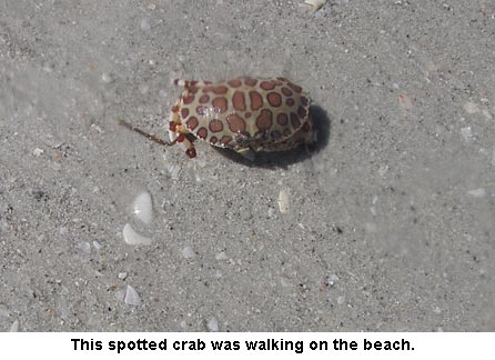 spottedcrab_0902
