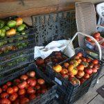 tomatoes_4694