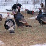 Turkeys_6448