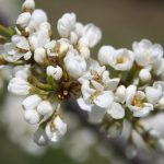 Apricot-blooms_6772