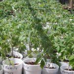 Tomato-seedlings_6813