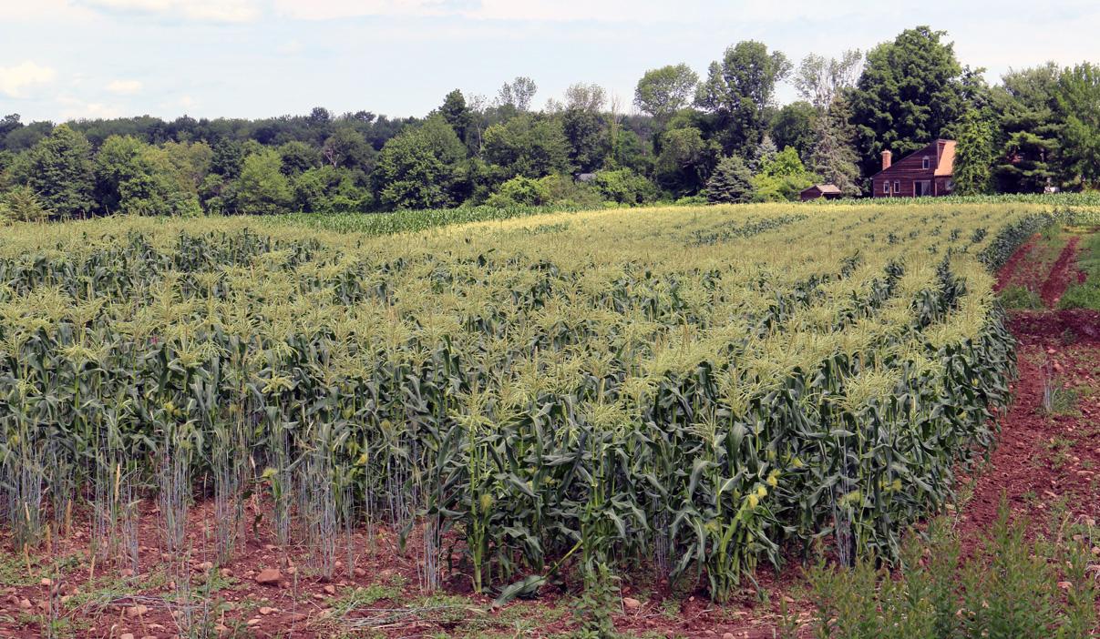 Early Season Corn Ready for Picking