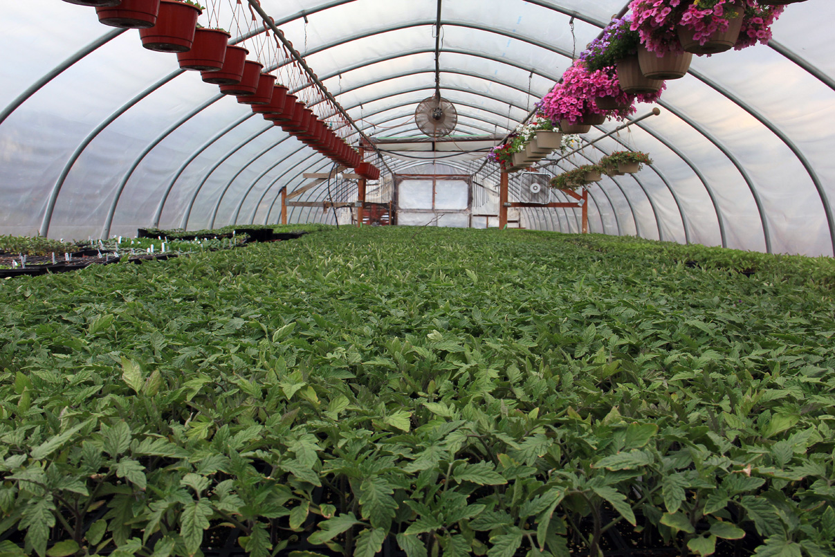 Young plants ready for sale